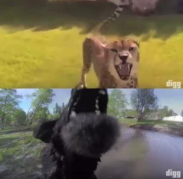 da-digg-il-video-di-animali-che-attaccano-droni_437305 2